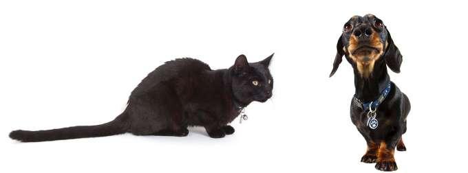 Black cat and Dachshund