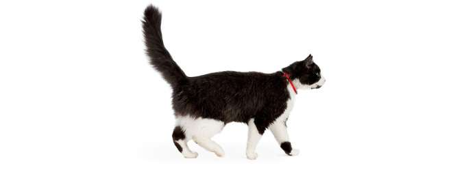 fluffy black and white cat walking right