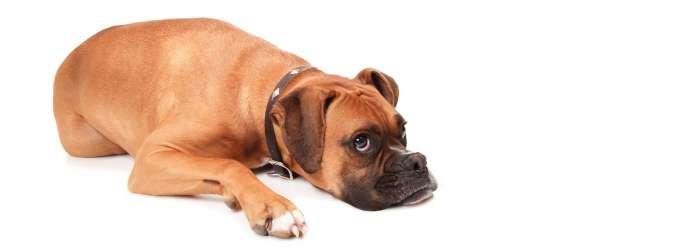 dog (boxer) laying down